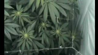 My indoor cannabis garden. 2x Northern Light, filmed weekly from begin to end of flowering