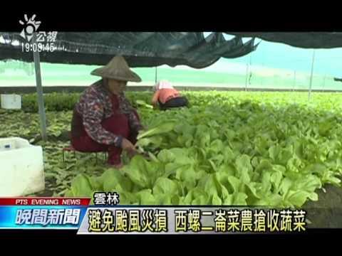 無奈農夫看天吃飯 颱風侵台 農夫搶收辛苦栽種蔬果