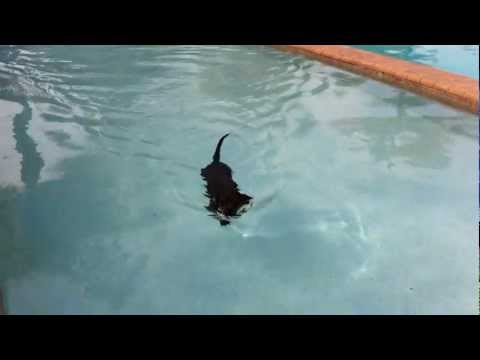 Cute Little Chihuahua Swimming in Pool
