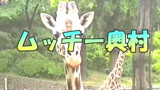 多摩動物公園で撮影したものです。 当時はまだキリンにせんべい等あげら...