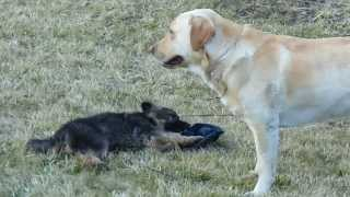 Labrador Retriever And German Shepherd