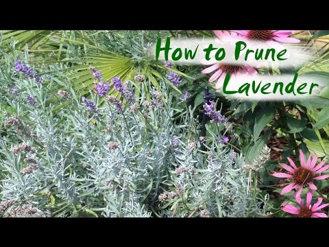 Pruning Lavender Plants In Fall