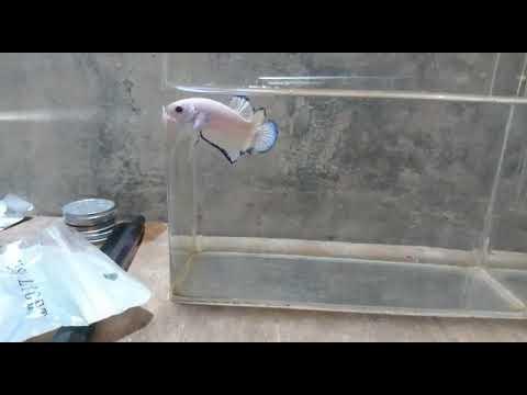 Ikan Cupang Platinum