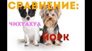 Сравнение: Породы собак - Йорк терьер и Чихуахуа. Gwadawa.