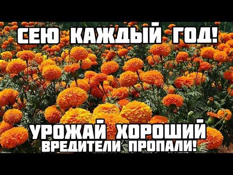 Вопрос: Какой будет урожай кабачков в Подмосковье в 2020 г. Какие есть приметы?
