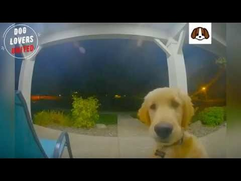 golden retriever puppy Escapes From Home, Rings Doorbell To Get Back In
