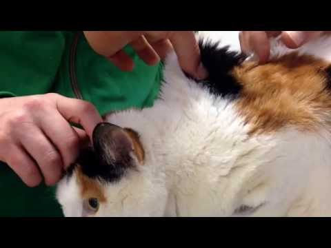 How to give an insulin injection to a diabetic cat PART ONE: Vet