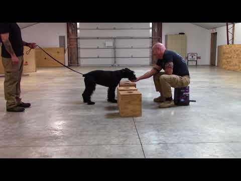 Giant Schnauzer Drug Dog Training at K9 Solutions Center raw