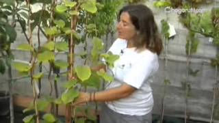 Cultivar kiwi