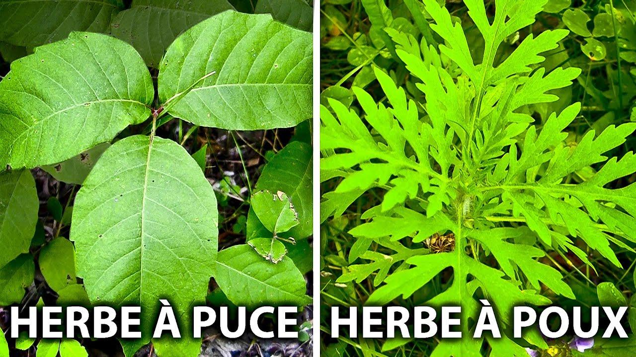 La diff rence entre l herbe puce et l herbe poux youtube - A quoi ressemble une puce ...