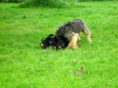 Otterhound Puppies - YouTube