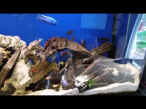 You Too Can Mix Other Fish With African Cichlids *PG-13*