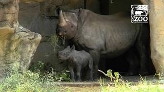 Black Rhino Calf Kendi and Mom Seyia Out - Cincinnati Zoo