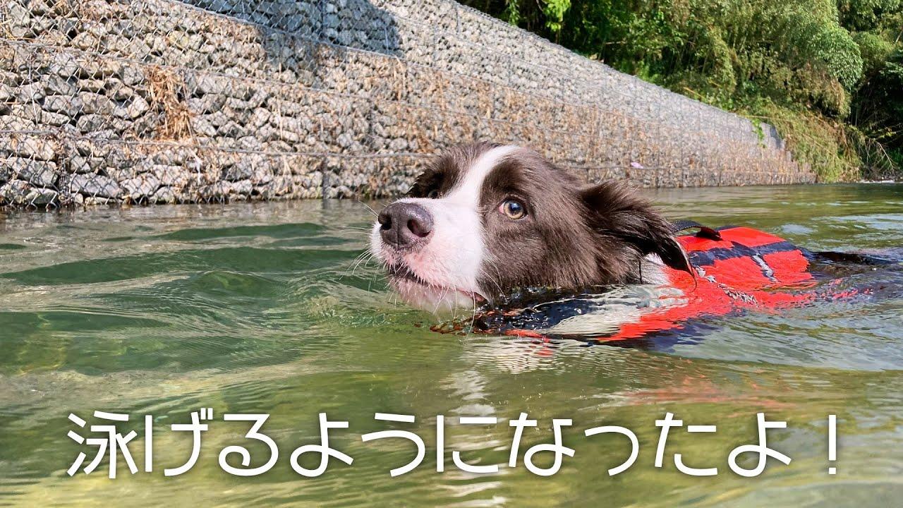 ボーダーコリーレイニー ついに泳げるようになりました!