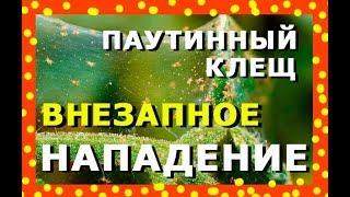 видео Распространенные болезни огурцов.