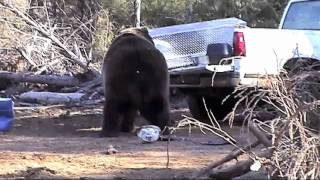 Bear Attacks Truck!