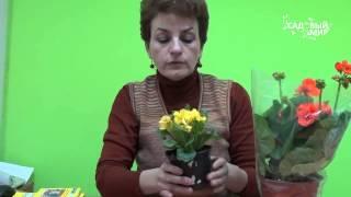 Подарок к 8 Марта   Как ухаживать за цветами в горшке(Подарок к 8 Марта. Как ухаживать за цветами, купленными в горшке. Как продлить жизнь растению