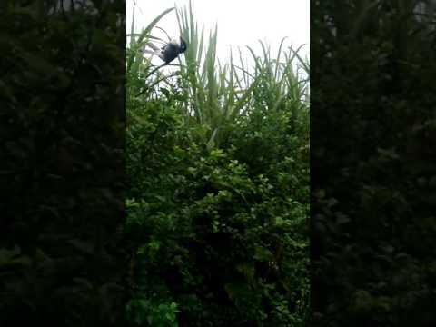 Bây chim bằng lưới