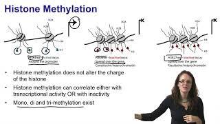 2.   Histone acetylation and histone methylation