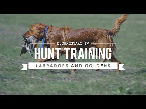 HUNT TRAINING LABRADOR RETRIEVERS AND GOLDEN RETRIEVERS