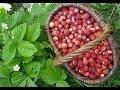 Сладка ягода в лес поманит Поёт Юлия Боголепова mp3