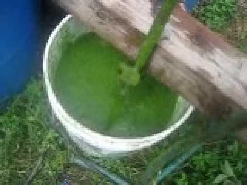 algae processing  -- biofuel experiment