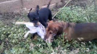 Jager And Milo Rabbit Tug Of War Dachshund Doxin