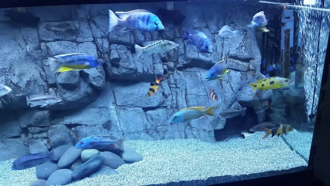 3d Live Waterfall Wallpapers Pros And Cons Of A 3d Background In An African Cichlid