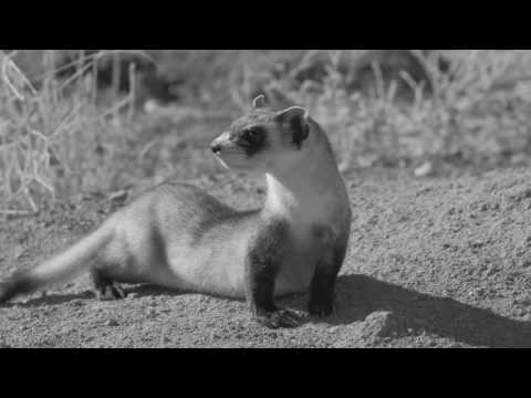 Conservation Connect: Black Footed-Ferrets