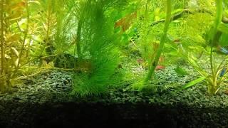 Нерест неонов в общем аквариуме