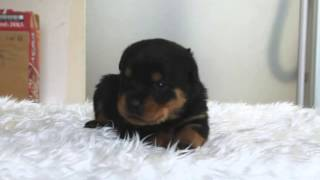 PADOGグループにて販売中!http://www.at-breeder.net/rottweiler/kansa...