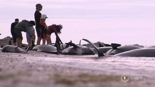 80 volunteers attempt refloating stranded whales at Farewell Spit