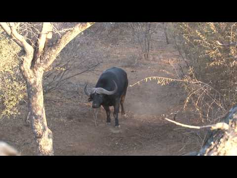 Cape Buffalo from a Tree Stand