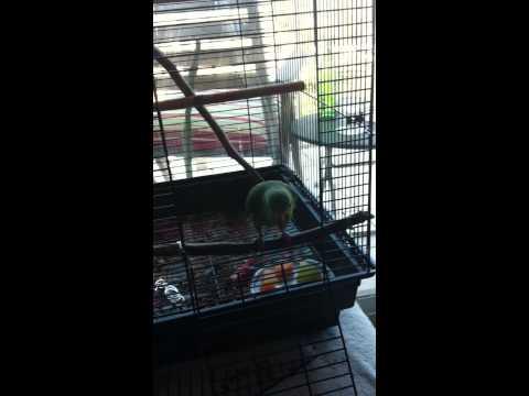 Petipua relaxing in the cage - Cobalt-winged Parakeet (Brotogeris cyanoptera)