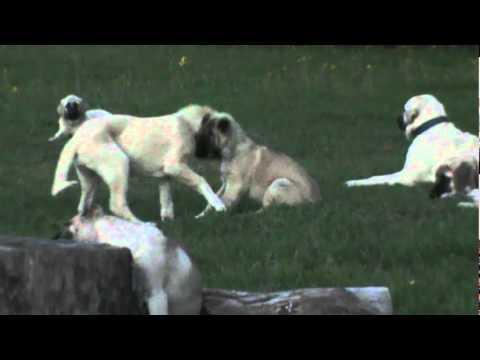 Natural Born Guardian's Turkish Boz Shepherd and Kangal Livestock Guardian Dogs