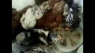 Уход за цыплятами в первые 25 дней.(Для сохранения цыплят в первые дни жизни нужно придерживаться нескольких условий. Это как маленький ребено..., 2014-03-30T13:18:19.000Z)