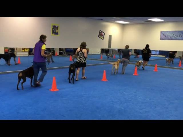 Synchronized Figure 8's - Obedience with BeaBeas Dog Training