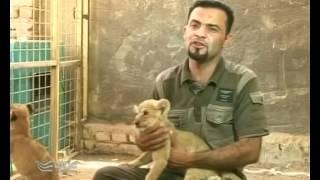 البصرة - شاب يهوى تربية الاسود في بيته           1 - 6 - 2012