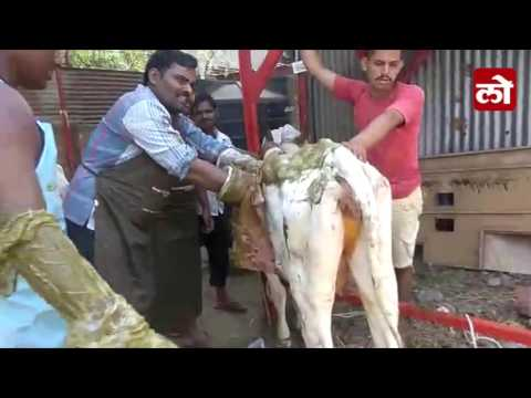 Huge plastic & other waste found from Stomach of Cow