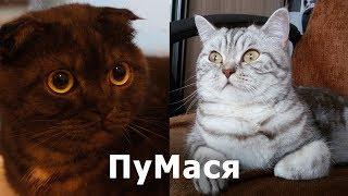 Новый питомец - британская кошка Мася / Уживутся ли?