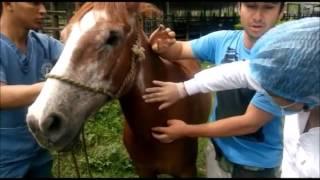 Venopunción en equinos