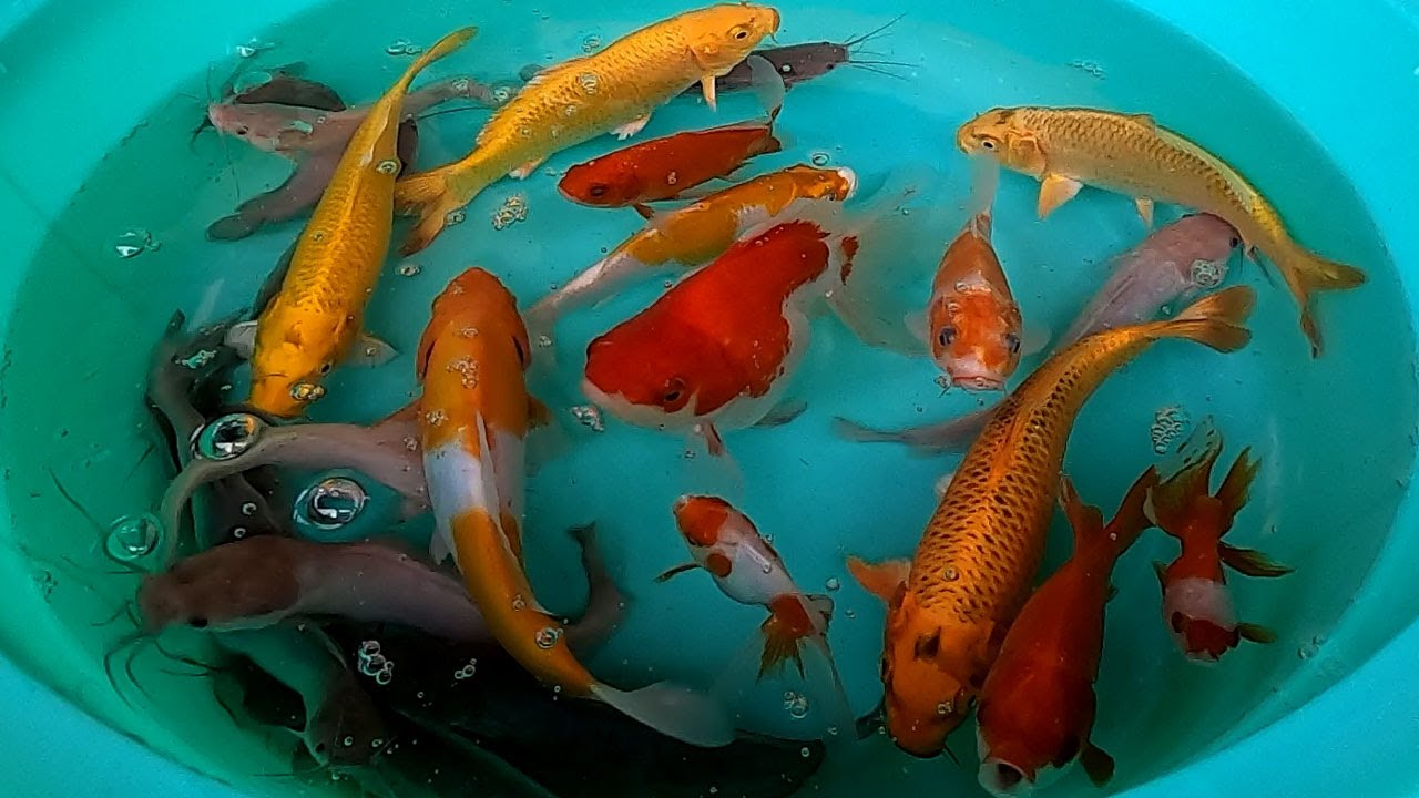 Catfish Koi Carp Fish Goldfish Cute animals Videos - The Animals Around Us
