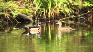 Wood Ducks House Hunting