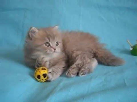 Хайленд страйт порода кошек, фото. TopCat
