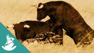 The bull, the most powerful animal - Now in High Quality! (Full Documentary)