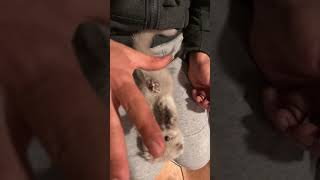 The cutest, playful cat Scottish fold ever