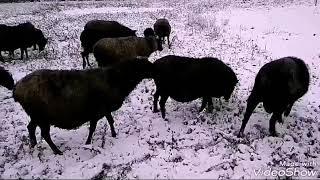 Романовские овцы. Пять плюсов зимнего выпаса.