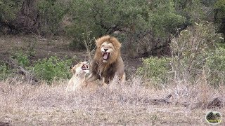 Spectacular Lion Mating Games