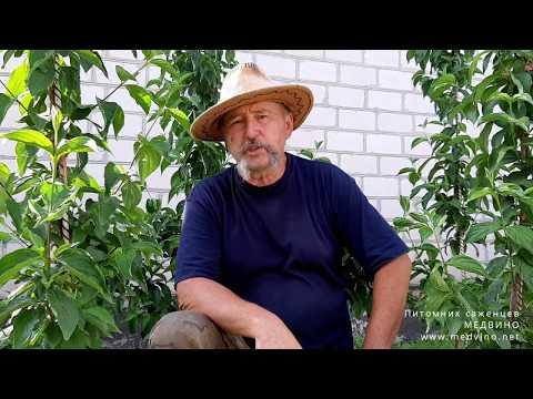 Подкормка плодовых деревьев: нюансы