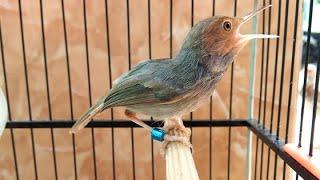 Suara Pikat Burung Prenjak Merah Klawu Jantan TARUNG | Lagu Burung Perenjak / Cinenen / CIBLEK GACOR